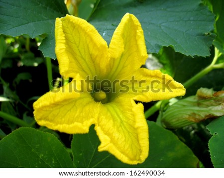 There are yellow flowers of  pumpkin and green grass