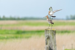 There is a black-tailed godwit in the meadow on a fence post