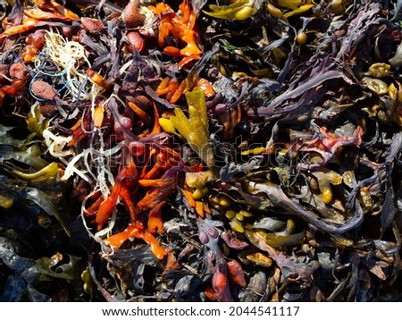 There is a lot of seaweed on the beach, many different types of seaweed, plastic rubbish in the seaweed, in summer, the seaweed is wet