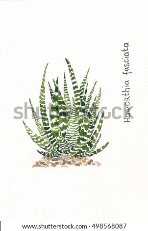 There is a watercolor painting of a succulent Haworthia Fasciata. A series of drawings