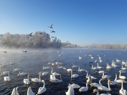 There is an amazing place in the Altai Territory - the non-freezing lake Svetloye (Swan) in the Soviet District, where hundreds of swans winter.