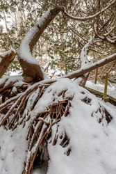There were two trees growing out of these snow covered roots