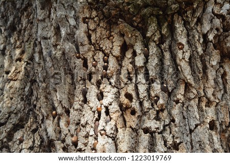 These are acorns in a blue oak tree that have been stashed away by a woodpecker. This tree is located in the western part of Northern California.