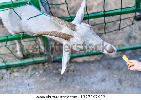 These are beautiful animals. Beautiful pet, ungulate, white goat, its snout at close range, in the pen and fence.