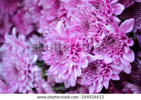 These are blooming purple or pink and white flowers called these are blooming purple or pink and white flowers called chrysanthemum or florists mun or mums mightylinksfo