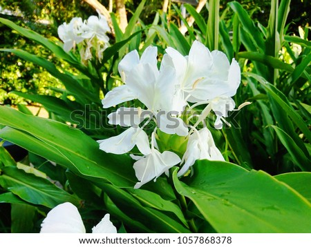 Free photos hedychium coronarium butterfly lily garland flower these are butterfly ginger flowers hedychium coronarium the aromatic essential oil from the mightylinksfo