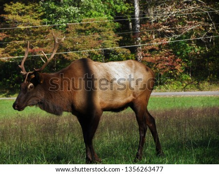 These are Elk I took pictures of in the mountains  on my nature walk