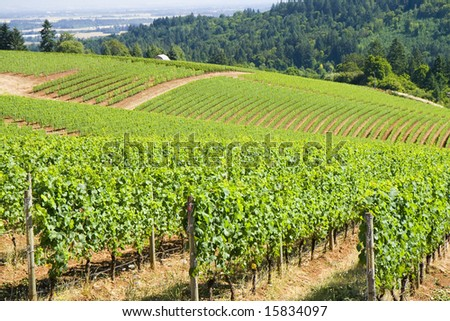 These are grape vines growing in the dundee hills, oregon.