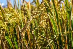 These are Paddy Rice grain ready for harvesting , rice are main carbohydrate source in Asian country like Indonesia.