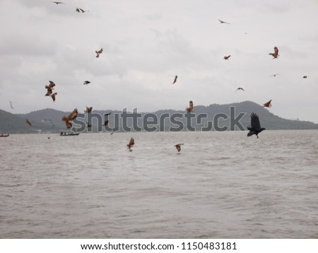 These are red hawk  birds flying and looking for fish and   prey at sea,Thailand. #1150483181