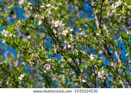 These are the white flowers of the almond tree. Its scientific n Foto stock ©