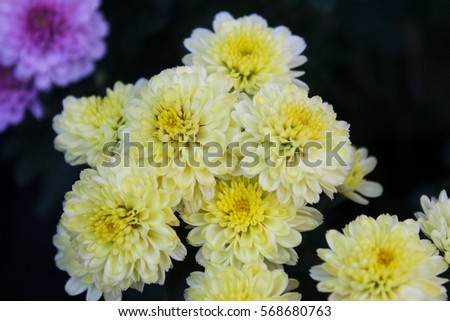 These are white and yellow flowers called chrysanthemum or florists these are white and yellow flowers called chrysanthemum or florists mun or mums flowers and mightylinksfo
