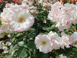 These are white roses called Matilda.