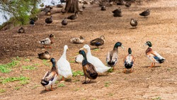 These birds are introduced domestic ducks and geese. They are not native to Australia. They have interbred with native birds to produce Hybrids.
