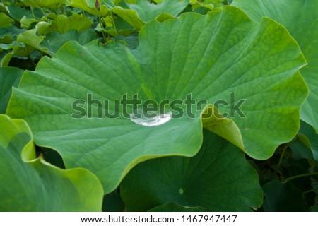 These leaves are lotus leaves. Lotus leaves repel water. Scientific name is Nelumbo nucifera.