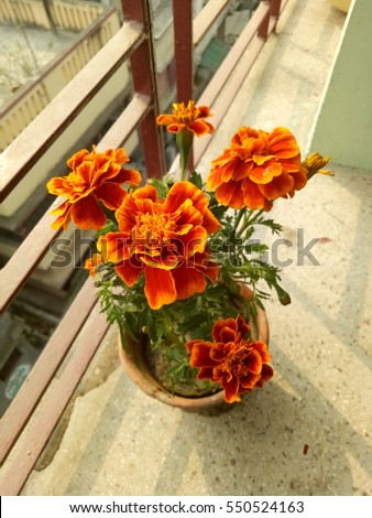 These marigold would bring happiness to your house indeed
