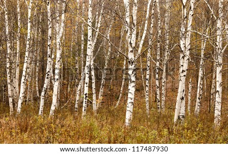 These Paper Birch Trees were photographed during mid October on Bear River Rd (Route 26) near Newry, Maine. The white bark blends beautiful with the orange/yellow vegetation around.