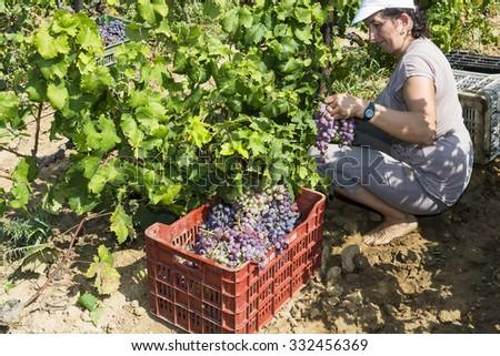 Thessaloniki, Greece- September 14, 2015: Farm worker picking grape during harvest in Thessaloniki, Greece.  #332456369