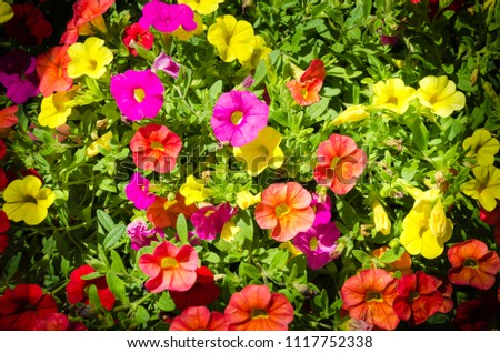 They are perennial plants treated as annuals of short stature, between 15 to 60 cm depending on the species. The leaves are arranged alternately or opposite, elongated or rounded and with full edges #1117752338