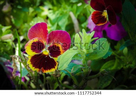 They are perennial plants treated as annuals of short stature, between 15 to 60 cm depending on the species. The leaves are arranged alternately or opposite, elongated or rounded and with full edges #1117752344