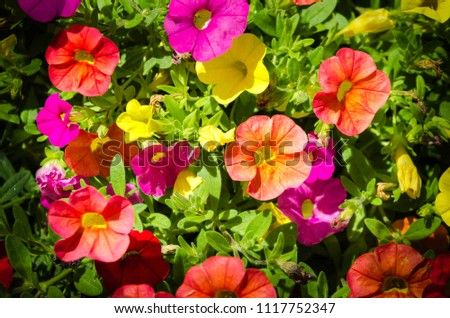 They are perennial plants treated as annuals of short stature, between 15 to 60 cm depending on the species. The leaves are arranged alternately or opposite, elongated or rounded and with full edges #1117752347
