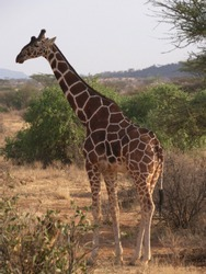 They have long legs, long necks, and relatively short bodies. Their heads are topped with bony horns, and their tails are tipped with a tuft of fur. A short mane runs down the length of their longneck