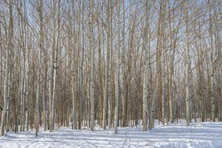 Thick Aspen Grove in Winter with Many Branches