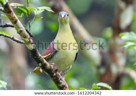 Thick-billed Green Pigeon male with fig fruits. Selangor, Malaysia.