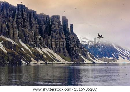 Thick-billed Murres (Uria lomvia) or Brunnich's guillemots colony, Alkefjellet bird cliff, Hinlopen Strait, Spitsbergen Island, Svalbard archipelago, Norway Сток-фото ©
