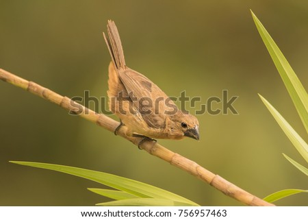 Shutterstock Thick-billed Seed-Finch (Sporophila funerea). Panama.  The seed-finches are a bit of a taxonomic puzzle. The females are a rich warm rusty brown. As is typical of the group the bill looks oversized.