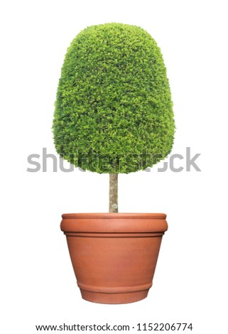 Thick bush of symmetric trimmed topiary tree in terracotta clay pot container isolated on white background for exterior formal Japanese and English style artistic design garden