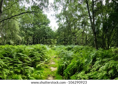 thick ferns growing either side of trail passing through ashridge woods near berkhamsted, hertfordshire england