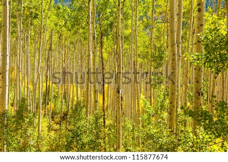 Thick forest of golden aspen trees in autumn in Colorado