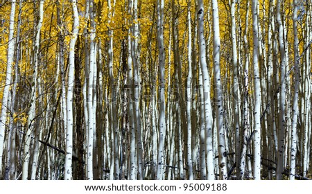 Thick forest of vertical aspen tree trunks in Colorado.