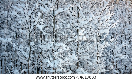 thick forest of young trees covered in snow
