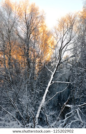 Thick forest with birch trees in winter, the sun making the tree tops glow in golden color