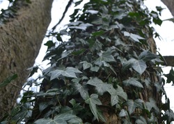 thick ivy grows up tree trunk in North West English forest