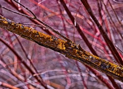Thick limb covered in green moss and variegated orange lichens across the entire frame at a diagonal against a background of red and violet willow sprouts forming a dense pattern of random diagonals