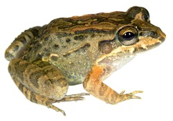 Thick-lipped Frog (Leptodactylus labrosus) from tropical dry forest in southern Ecuador