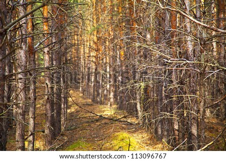 Thick pine autumn forest. Neat rows of trees. Shallow depth of field.