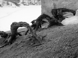 Thick pine roots protruding from coarse sand. Monochrome macro photo