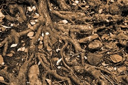 Thick roots of an old tree, sepia toned