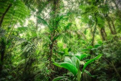 Thick vegetation in Basse Terre jungle. Guadeloupe, french west indies. Lesser Antilles, Caribbean