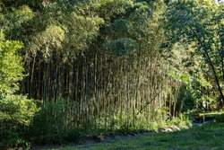 Thickets of evergreen graceful golden bamboo plants Phyllostachys aureosulcata in Adler arboretum