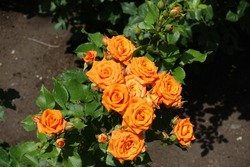Thin branch of rose bush with bright orange flowers in June