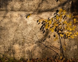 Thin branches of a shrub with yellow autumn leaves against a gray concrete wall.Natural seasonal background.Copy space.Soft focus.Light and shadows.