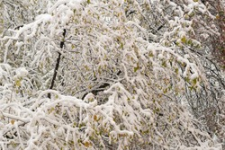 Thin branches of a tree under snow flakes. Early snow in late autumn. Texture for the background.