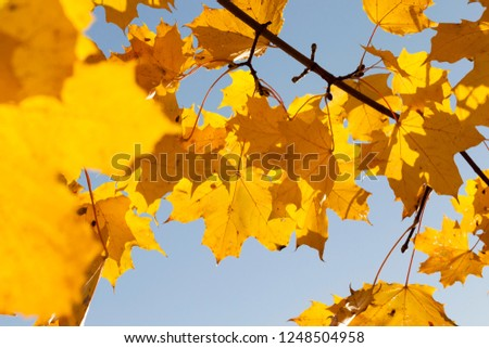Thin branches with a large number of maple foliage, the foliage turned yellow in early autumn, September, the blue sky in the background #1248504958