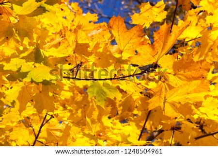 Thin branches with a large number of maple foliage, the foliage turned yellow in early autumn, September, the blue sky in the background #1248504961