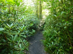 Thin dirt trail lined with Rhododendrons (Rhododendron maximum) at Blackwater Falls State Park in West Virginia.